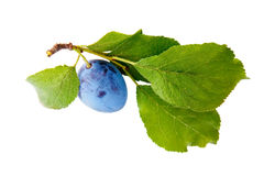 Plum. Ripe plum fruit on white background Stock Photos