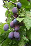 Plum. Detail view of fresh plums on branch royalty free stock photography