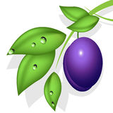 Plum. Illustration, plum on green branch on white background Stock Photos