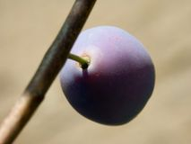 Plum. On branch in upper view Royalty Free Stock Photo