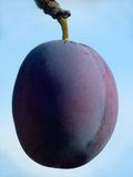 Plum. On branch with blue sky in background Royalty Free Stock Photos