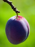 Plum. On branch with intensive/blured green background Royalty Free Stock Images