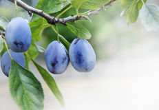 Plum. S on branch with copyspace Royalty Free Stock Images