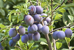 Plum. Fruits on a plum branch Stock Image