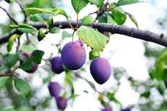 plum Obraz Royalty Free