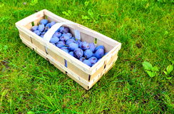 The Plum basket Stock Photography