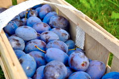 The Plum basket Royalty Free Stock Image