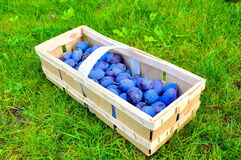 The Plum basket Stock Images