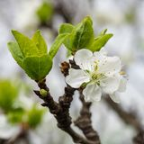 Plum beautiful flower with white petals royalty free stock photography