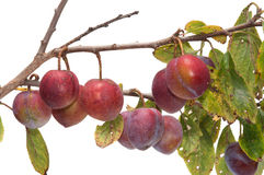 Plum. Royalty Free Stock Images
