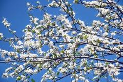 plumBiali kwiaty Kwitnie drzewa zdjęcia royalty free