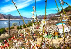 Plum Blooming in het Dorp van Wondong Maehwa, Yangsan, Zuid-Korea, Azië stock afbeelding