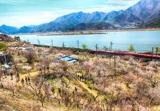 Plum Blooming in het Dorp van Wondong Maehwa, Yangsan, Zuid-Korea, Azië royalty-vrije stock foto