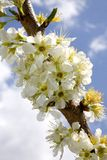 Plum blooms. Plum tree in bloom with clouds in the background stock image