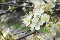 Free Plum Blooms In The Spring Royalty Free Stock Photos - 111597568