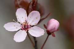 Plum Blossom. Plum Blossum and bud in Spring Stock Photo