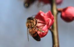 Plum Blossom lizenzfreie stockbilder