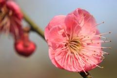 Plum Blossom stockbild