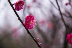 Plum Blossom Imagem de Stock Royalty Free
