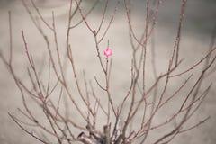 Plum Blossom Fotos de archivo