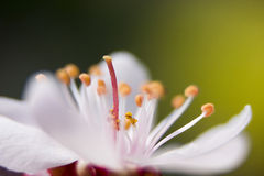 Plum blossom. Is not afraid cold,Blossom in winter.This is the flower of macro feature Royalty Free Stock Images