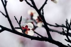Plum blossom. A plum blossom in the spring Royalty Free Stock Photo