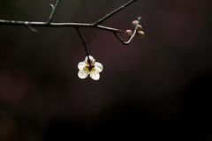 Plum blossom. A plum blossom in the spring Royalty Free Stock Photos