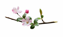 Plum blossom isolated on white background Stock Photos