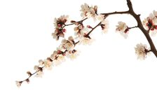 Plum blossom. Isolated on white stock photos