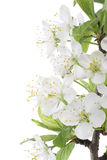 Plum blossom. Studio Shot of Blossom Plum Branch Isolated on White Background. Large Depth of Field (DOF Royalty Free Stock Photo