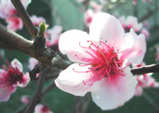 Plum Blossom. Close up of a plum blossom flower royalty free stock photography