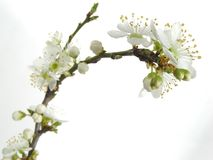Plum blossom. White spring plum blossoms isolated on white stock image
