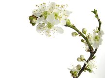 Plum blossom. White spring plum blossoms isolated on white Royalty Free Stock Photo