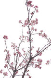 Plum blossom. I took photo for plum blossom and then found that the photo likes a chinese brush drawing Royalty Free Stock Photos