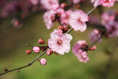 Plum blossom. Closeup of Pink plum blossom Royalty Free Stock Photography