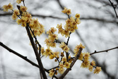 Plum blossom. The yellow plum blossom. in china, also known as lamei bloom, is the main winter ornamental flowers, very fragrant royalty free stock photo