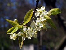 Plum Blossom. Close up of a plum blossom flower Stock Photography