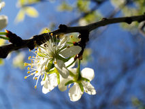 Plum Blossom. Close up of a plum blossom flower Stock Image