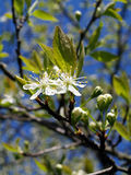 Plum Blossom. Close up of a plum blossom flower Stock Photos