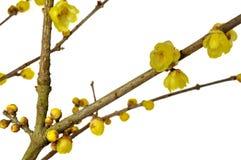 Plum Blossom Immagine Stock