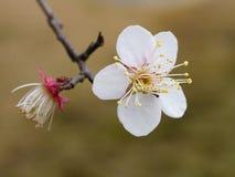 Plum Blossom Imagenes de archivo