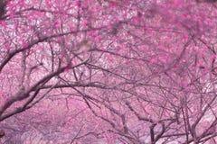 Plum Blossom    Fotografía de archivo libre de regalías