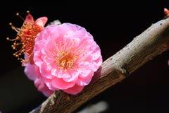 Plum Blossom Fotos de archivo libres de regalías