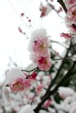 Plum blossom. With the snow Stock Photo