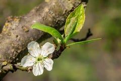 Plum Blossom Fotos de Stock Royalty Free