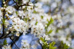 Free Plum Blossom Stock Photos - 4569513