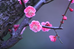 Plum blossom. Pink plum blossom in march, 2008, Shanghai, china Stock Image