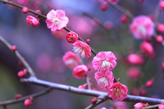 Plum blossom. In march, 08, shanghai,china Royalty Free Stock Photo