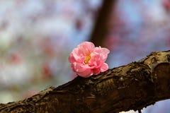 Plum Blossom Stock Afbeelding