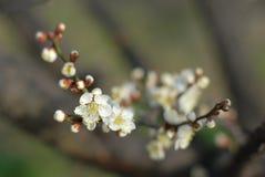 Plum Blossom Stock Photos
